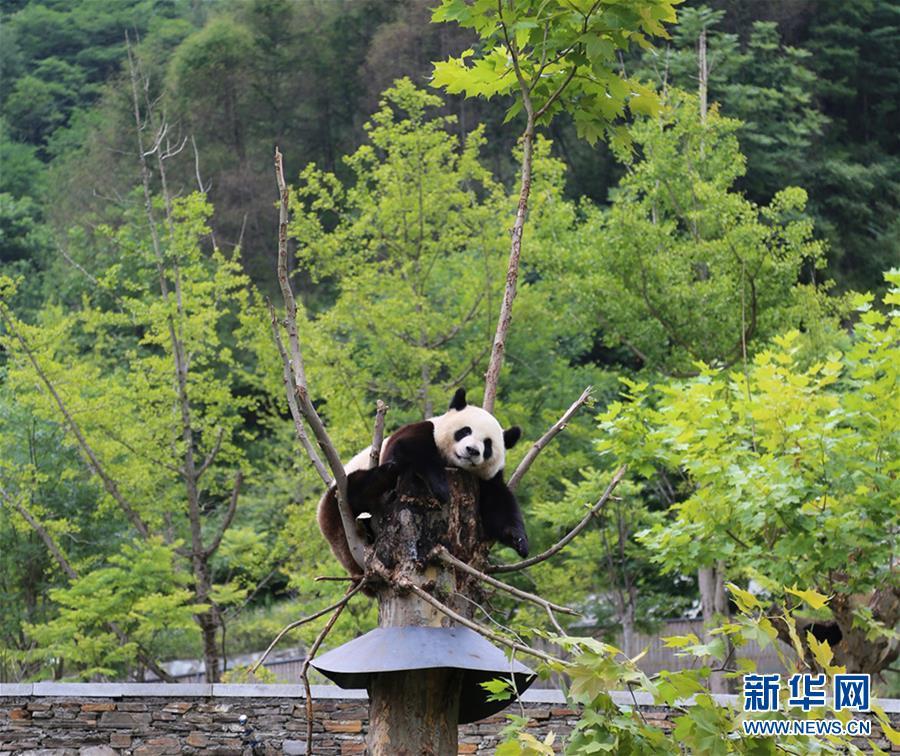 九寨溝地震 臥龍のジャイアントパンダへの影響なし