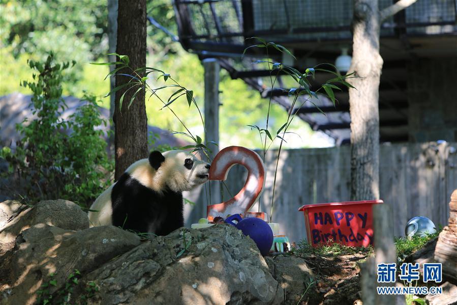 ジャイアントパンダ「貝貝」2歳の誕生日イベント開催 アメリカ
