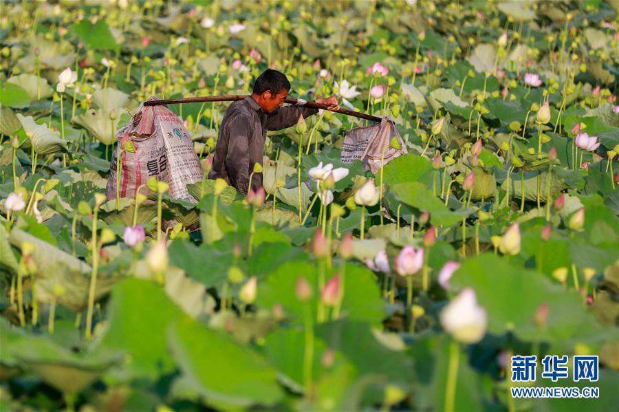 処暑迎え、ハスの花托の収穫に追われる農家の人々 江蘇省