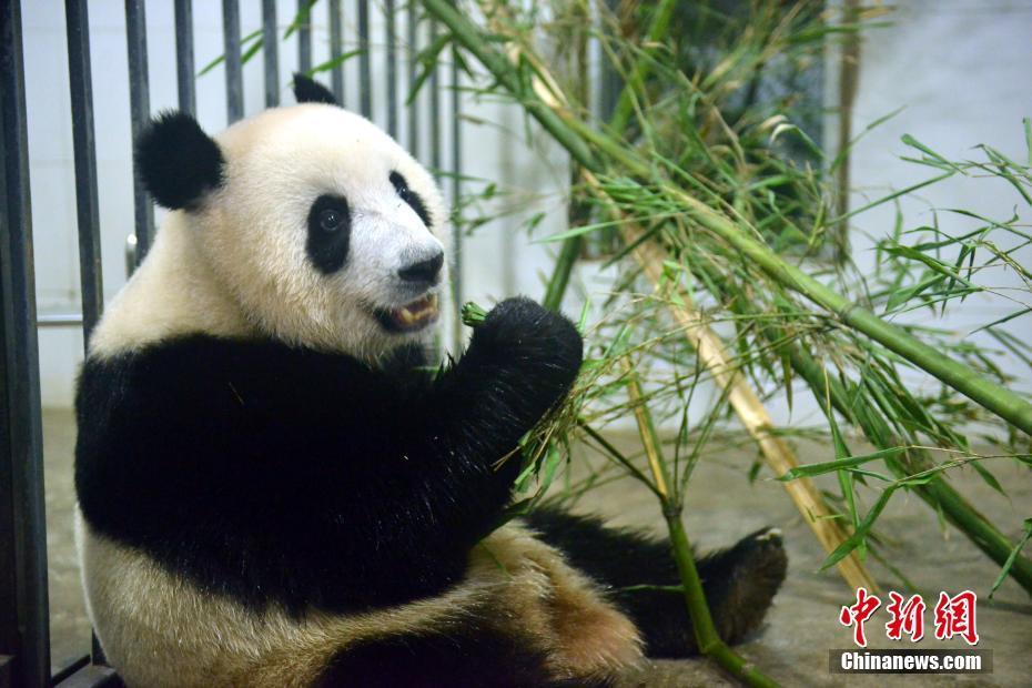 マレーシア生まれのパンダ「暖暖」が中国に帰国し、隔離検疫生活へ