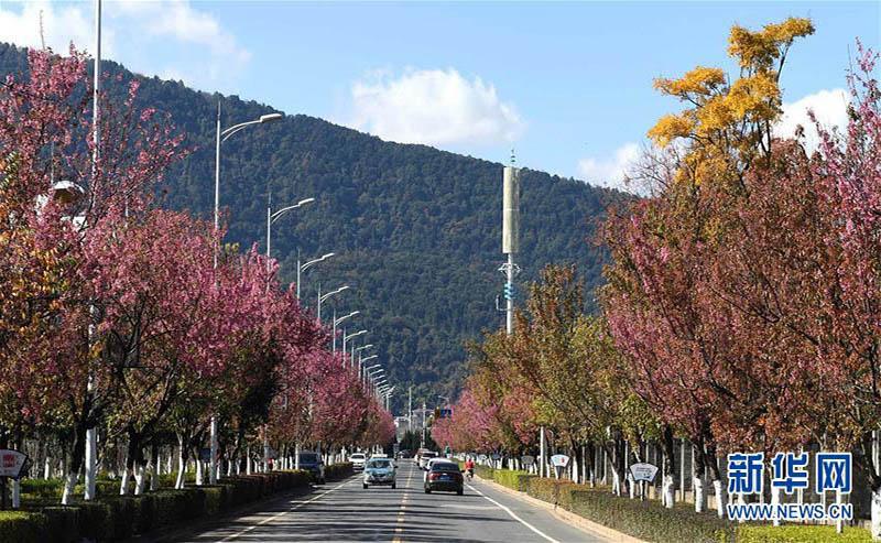 冬桜が満開迎えた昆明、春の景色広がる