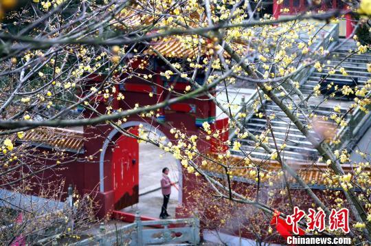 まるで春の訪れ 南昌市で遅咲きのロウバイが開花