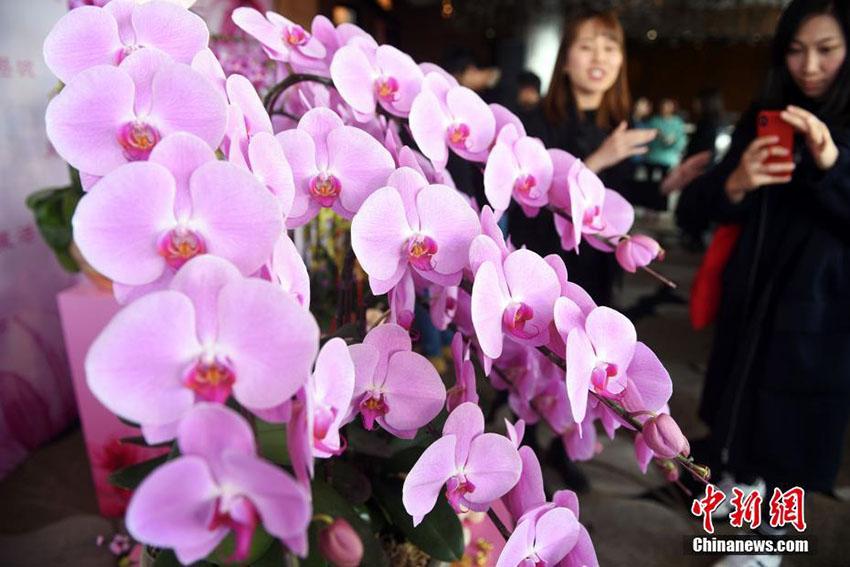 香港地区で春節祝賀の「新春花市」が開催 一際目を引く鮮やかな胡蝶蘭 (2)