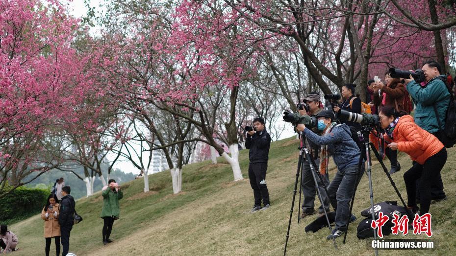 広西チワン族自治区の桜が開花 花見客でにぎわう