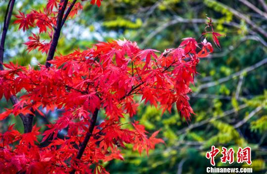 真っ赤に染まった甘粛省天水市小隴山の紅葉