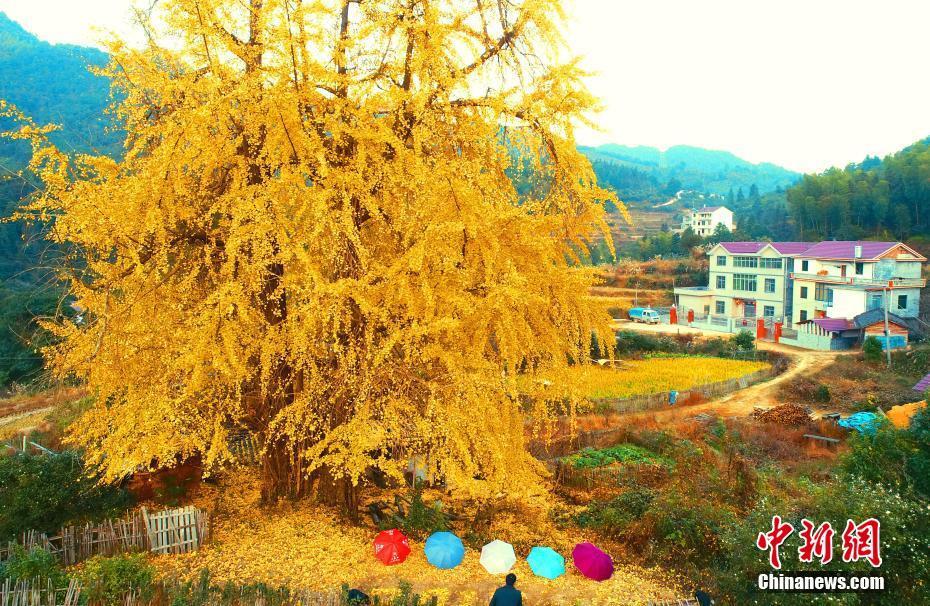 黄金の甲冑まとったような輝き見せる樹齢1300年のイチョウ 江西省
