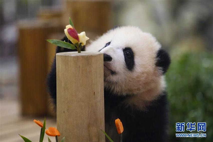 赤ちゃんパンダ「彩浜(サイヒン)」が満6ヶ月に  日本