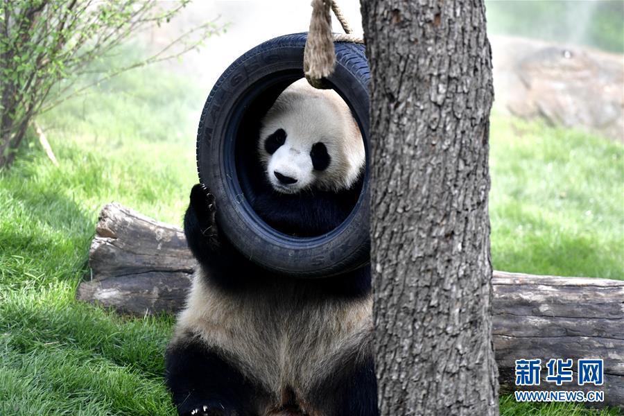 青海省の西寧パンダ館が一般開放へ パンダはすでに高原の気候に適応