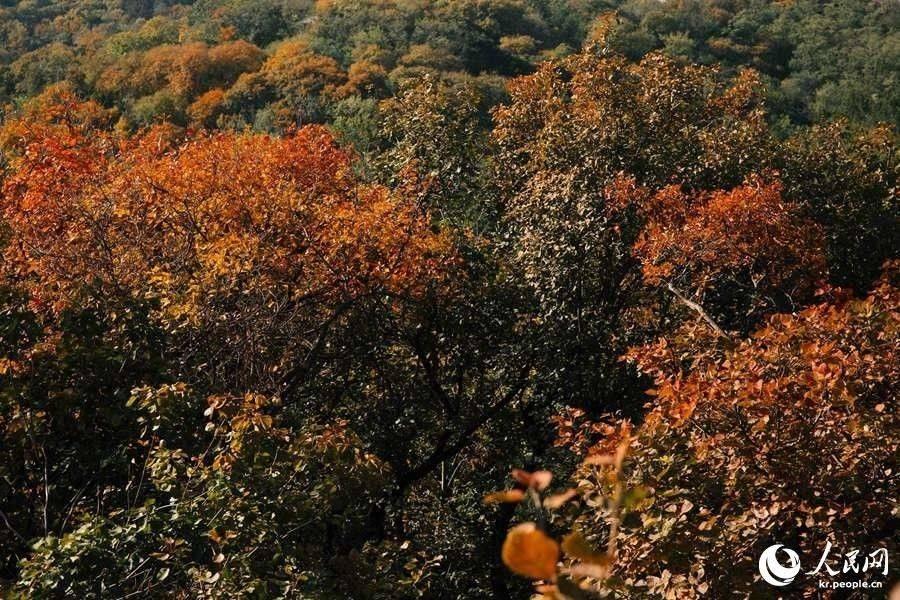 北京の紅葉の名所・百望山森林公園が見ごろに