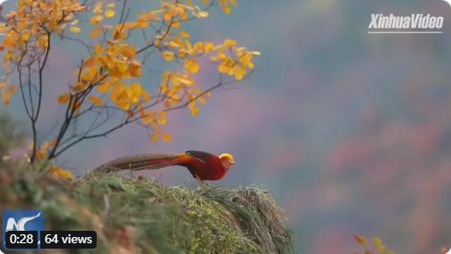 中国、河南省の秦嶺山脈で見られた美しいキンケイの姿。