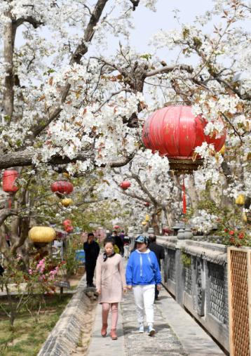 中国甘粛省蘭州市皐蘭県什川古梨園梨の花が満開