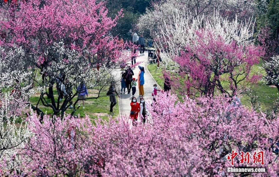 武漢市の東湖磨山梅園が梅の見頃