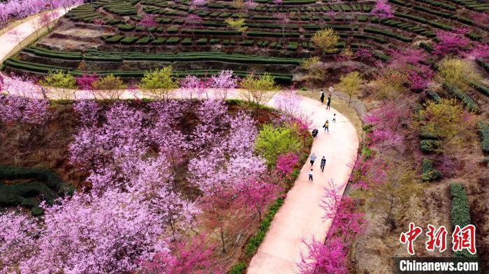 福建省南靖県で桜が満開