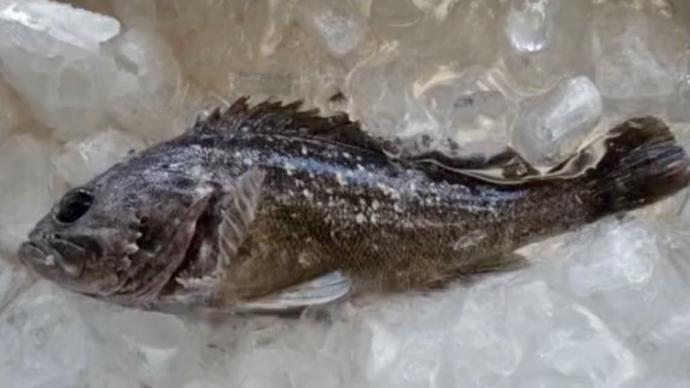 日本福島県沖で捕れたクロソイから基準値超えるセシウム、出荷制限へ